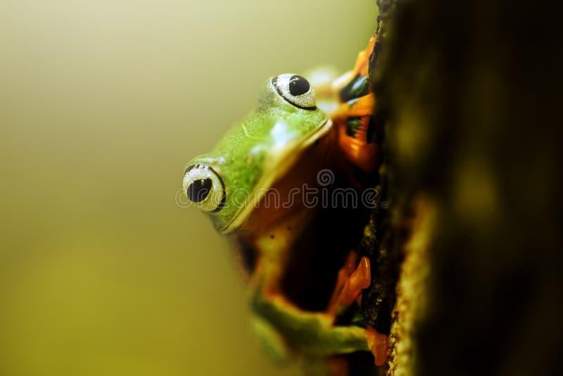 Grodor kort och tjock grodor som flyger grodor, trädgrodor på ris arkivbilder