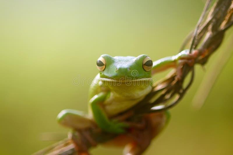 Grodor kort och tjock grodor som flyger grodor, trädgrodor på ris royaltyfri foto