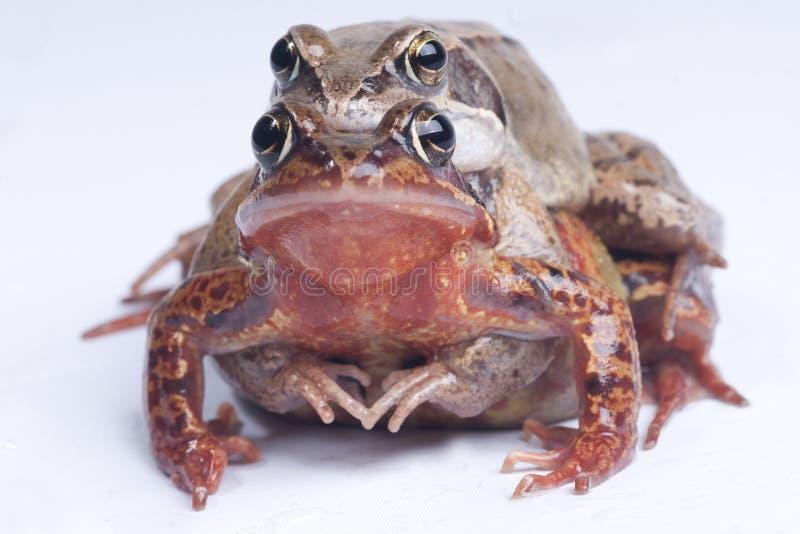 grodor två royaltyfria bilder