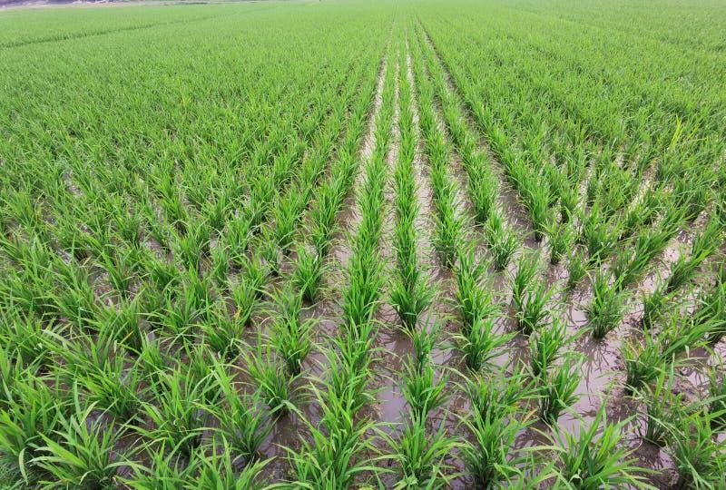 Groei van de rijstvelden van padie, padie, stock afbeelding