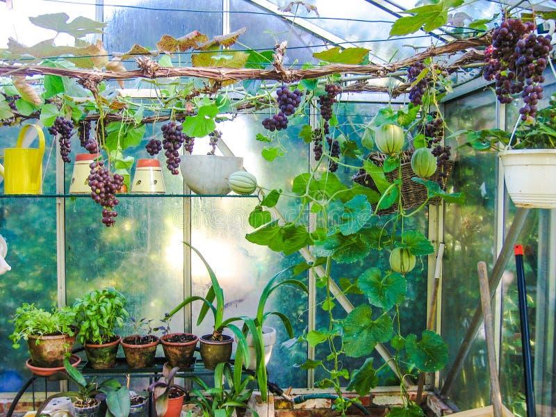 Groeiende druiven en meloenen in een kleine serre stock afbeelding