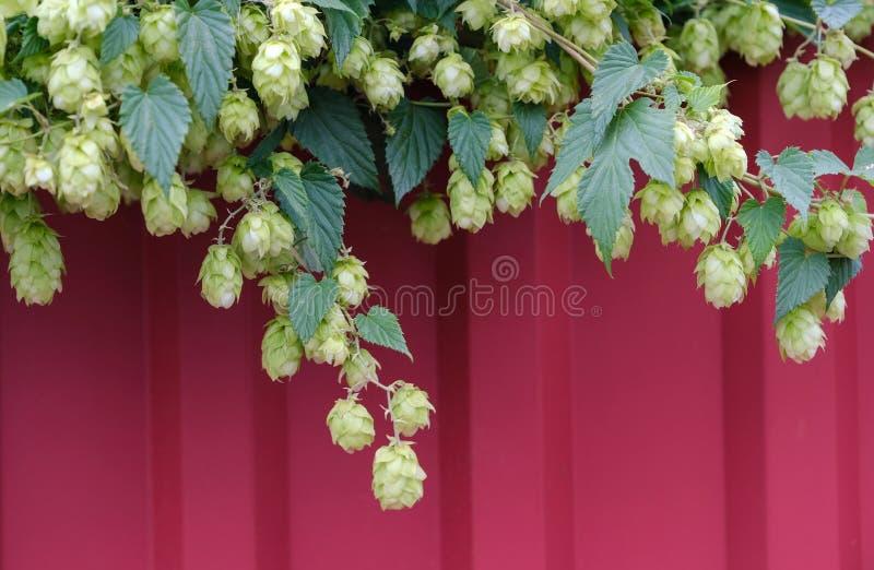 Groeiende Hop stock fotografie