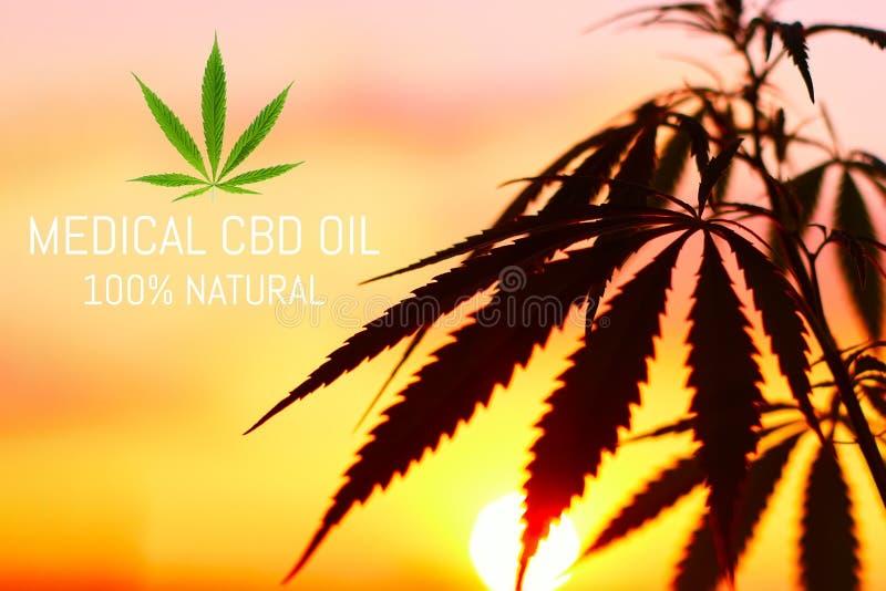 Groeiende premie medische cannabis, CBD-de producten van de oliehennep Natuurlijke marihuana royalty-vrije stock afbeelding