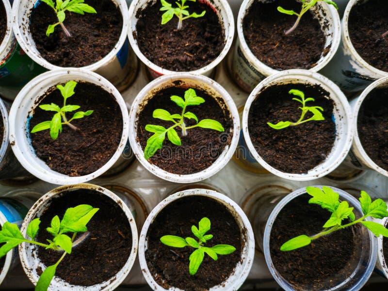 Groeiende tomatenzaailingen Kleine tomaten groene installaties - moderne plantaardige eco-productie in een serre stock afbeelding