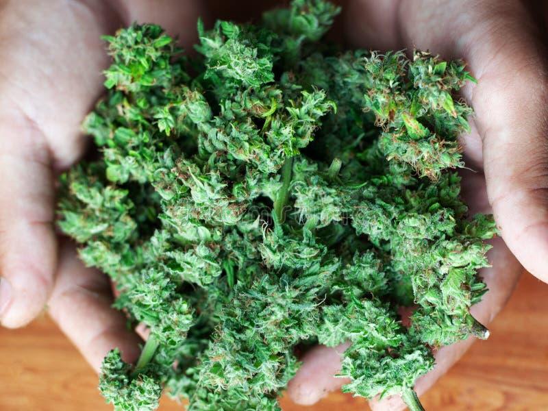 Groeiende verse organisch zuivere cannabisknoppen greep in marihuana van de handen de gemakkelijke recreatieve drug royalty-vrije stock afbeelding