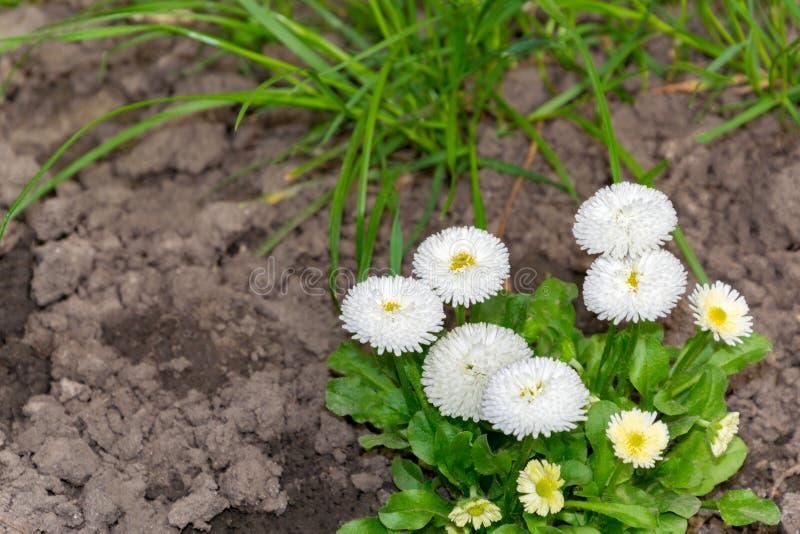 groeit de witte pracht van anemoonblanda, witte bloemen, drie stukken in de tuin royalty-vrije stock foto