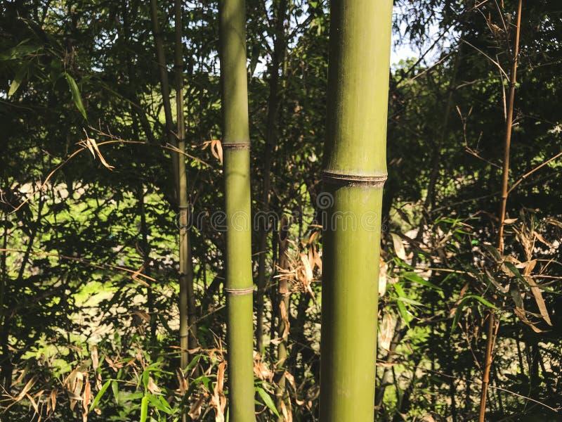 Groen bamboe in het bosje, Zuid-Korea stock afbeeldingen