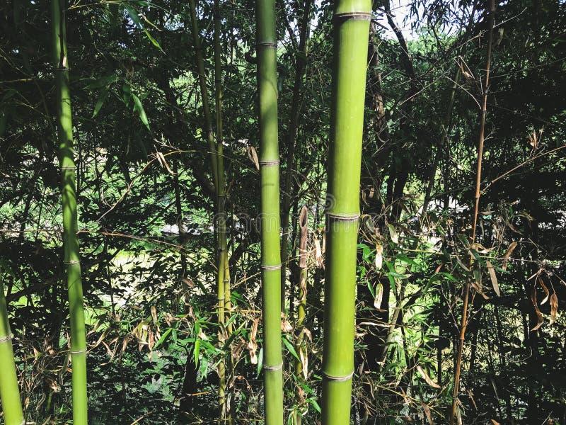 Groen bamboebosje, Zuid-Korea stock fotografie