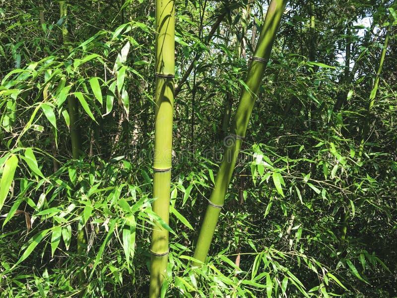Groen bamboebosje, Zuid-Korea stock foto's