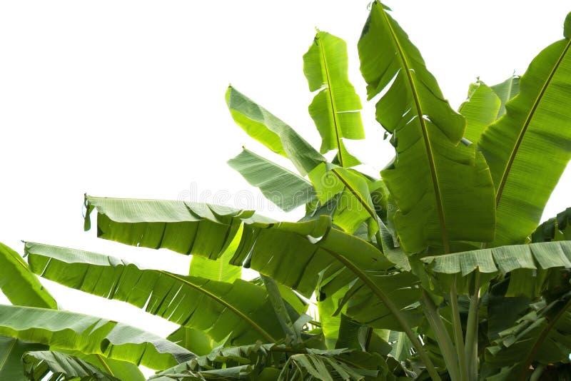 Groen banaanblad, groene tropische die gebladertetextuur op witte achtergrond van dossier met het Knippen van Weg wordt geïsoleer stock foto