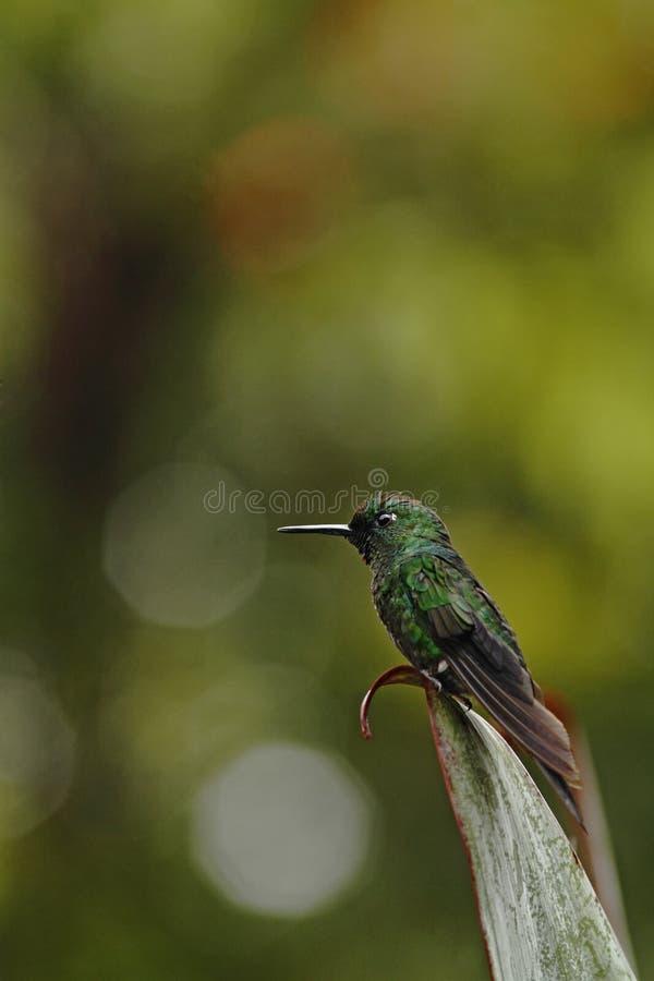 Groen-bekroonde briljant, Heliodoxa-jaculazitting op verlof, vogel van berg tropisch bos, Panama die, vogel op blad neerstrijken royalty-vrije stock fotografie