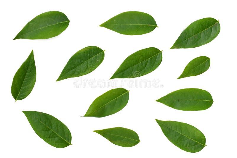 Groen blad dat op witte achtergrond wordt geïsoleerdr royalty-vrije stock foto's