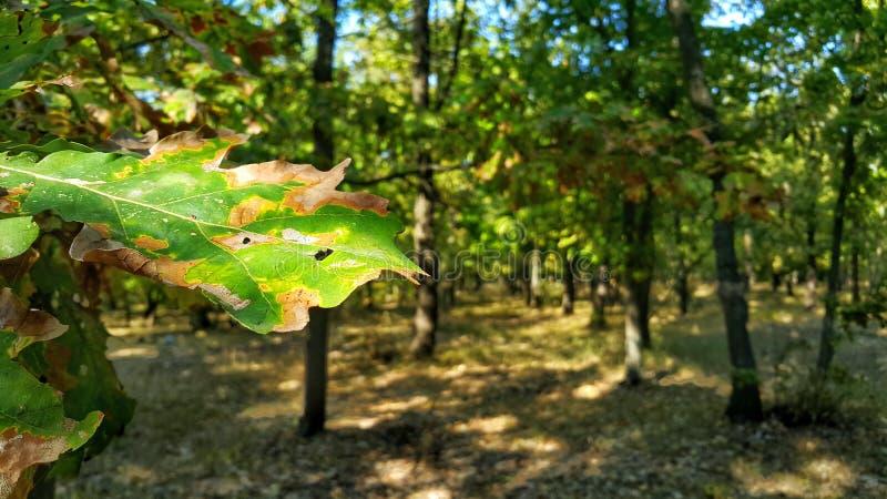 groen blad Eiken bladclose-up Bos landschap Bosachtergrond op de Desktop De zomer in het bos Groene Bos stock foto