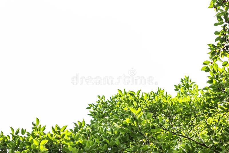 Groen blad en takken en bladerenkader op een witte achtergrond royalty-vrije stock afbeelding