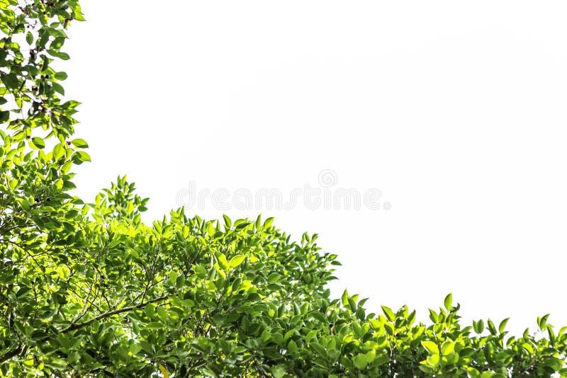 Groen blad en takken en bladerenkader op een witte achtergrond, groene boom stock foto's
