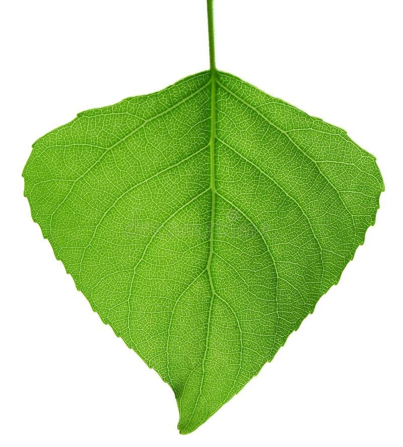 Groen blad. Macro. stock afbeelding