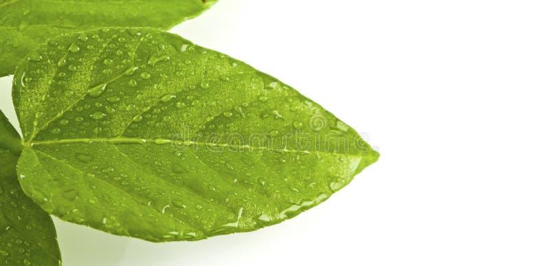 Groen blad met dalingen van water stock afbeeldingen