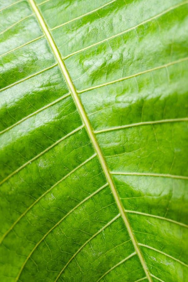 Groen blad met gestreepte ader natuurlijke achtergrond royalty-vrije stock afbeelding