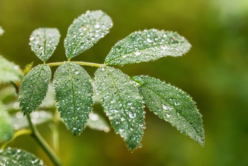 Groen blad met ochtenddauw stock afbeeldingen