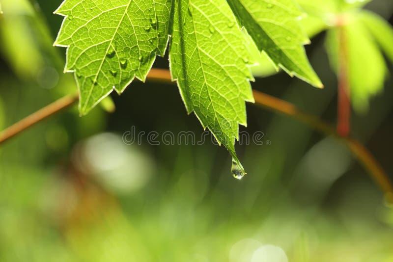Groen blad met waterdaling royalty-vrije stock foto
