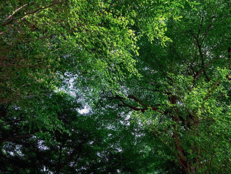 Groen blad op de reuzeboom royalty-vrije stock afbeelding