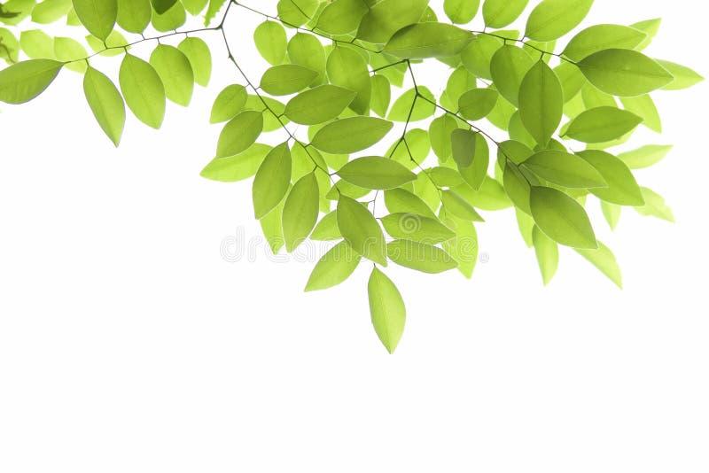 Groen blad op wit royalty-vrije stock foto