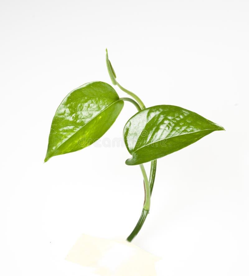Groen blad op wit stock afbeelding