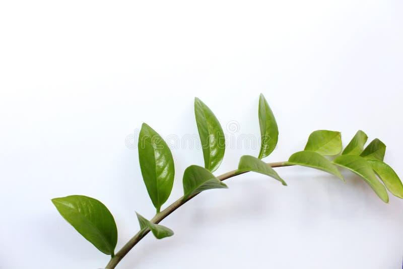 Groen blad op wit royalty-vrije stock afbeelding