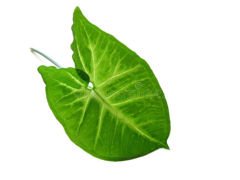 Groen blad over wit stock afbeelding