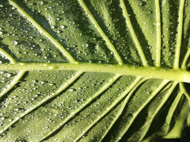 Groen blad, regendalingen, water stock afbeelding
