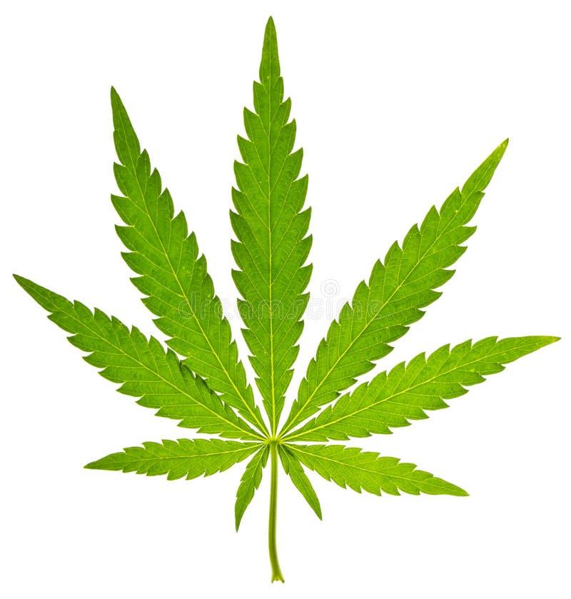 Groen blad van cannabis stock foto