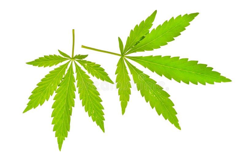 Groen blad van cannabis royalty-vrije stock foto