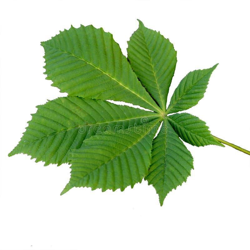 Groen blad van kastanje, dat op witte achtergrond wordt geïsoleerd stock fotografie