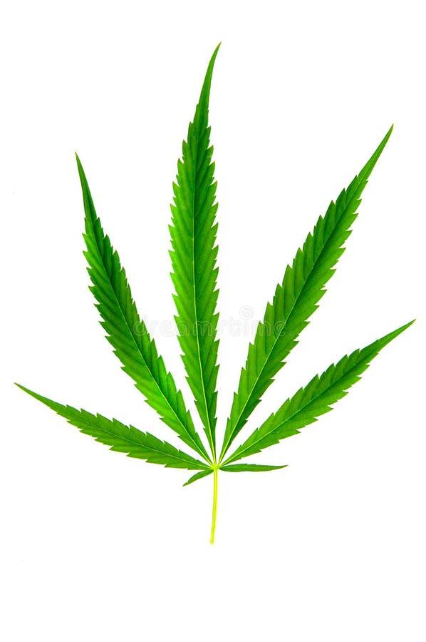 Groen blad van marihuana royalty-vrije stock foto's