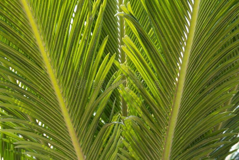 Groen blad van palm De palm doorbladert stock afbeelding