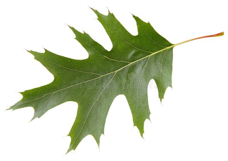 Groen blad van rode eiken die boom op witte achtergrond wordt geïsoleerd stock afbeelding