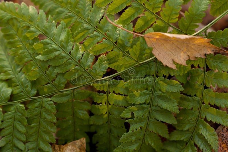 groen blad van varen in het de herfstpark of in het bos royalty-vrije stock fotografie