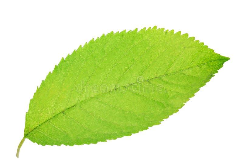 Groen blad van vrolijk geïsoleerd op witte achtergrond royalty-vrije stock foto's