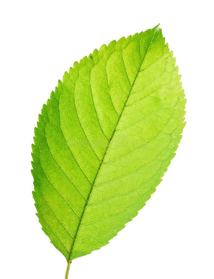 Groen blad van vrolijk geïsoleerd op witte achtergrond stock afbeelding