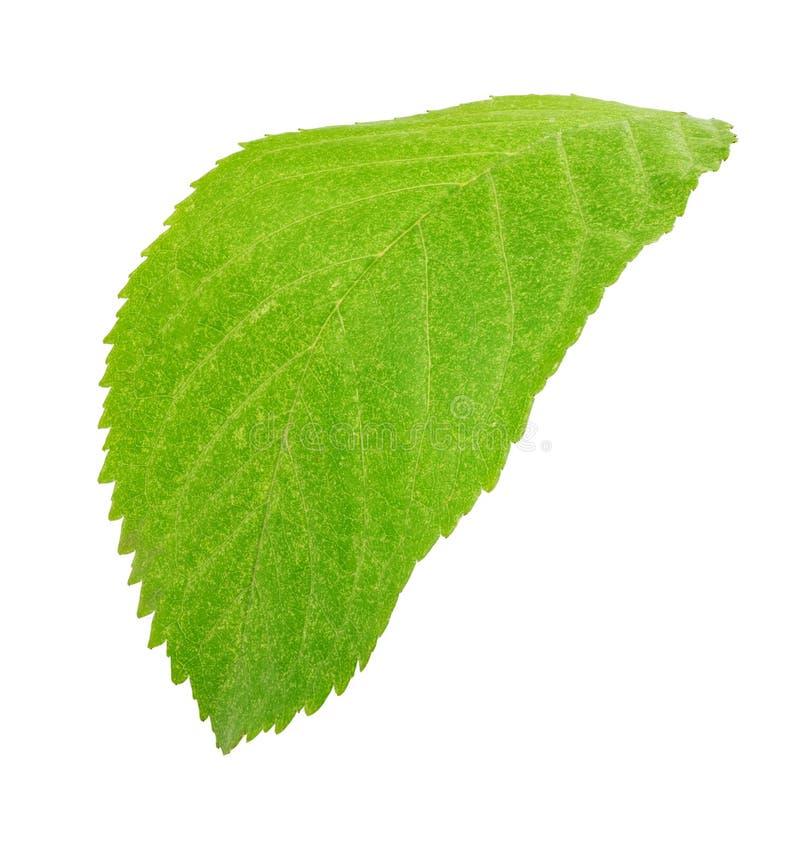 Groen blad van vrolijk geïsoleerd op witte achtergrond royalty-vrije stock fotografie