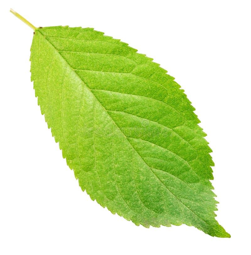 Groen blad van vrolijk geïsoleerd op witte achtergrond stock foto