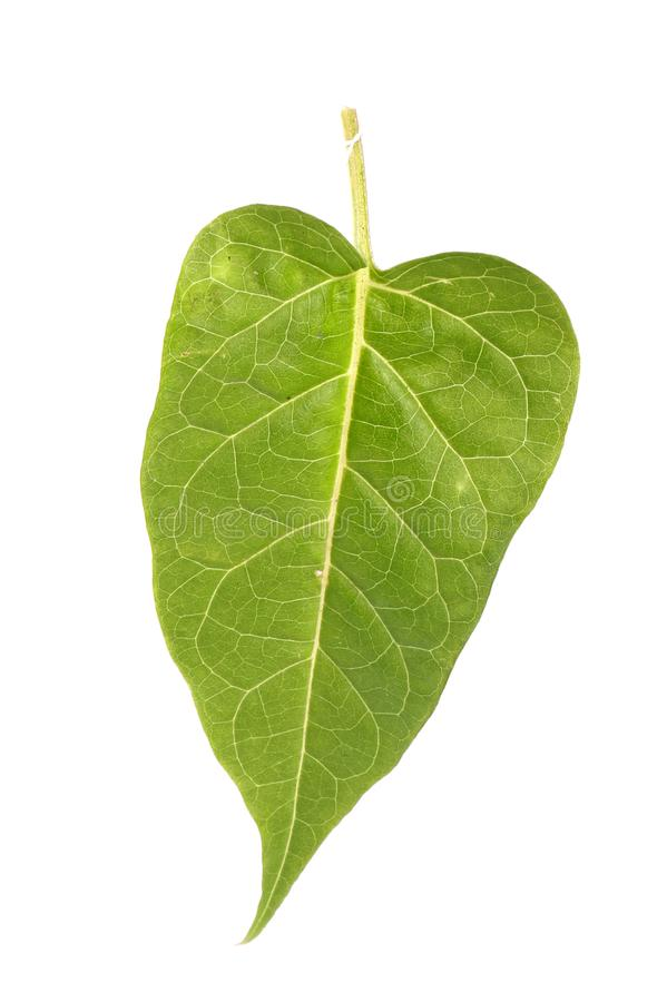 Groen bladdetail stock afbeelding