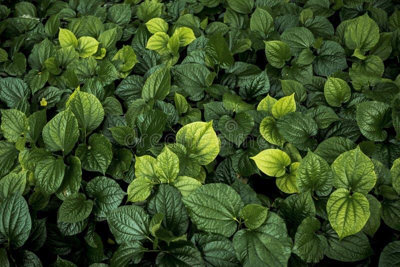 Groen bladerenpatroon in tuin, natuurlijke textuur voor abstracte bac royalty-vrije stock afbeelding
