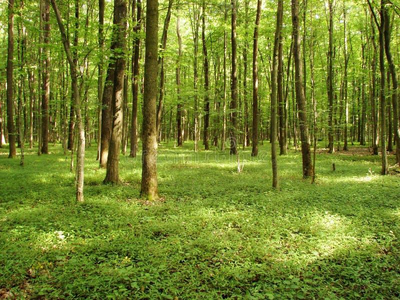 Groen bos stock fotografie