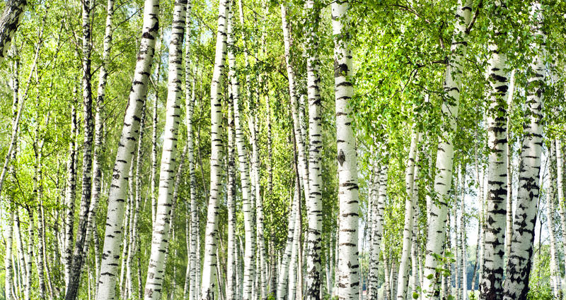 Groen de berkbos van de zomer royalty-vrije stock afbeeldingen
