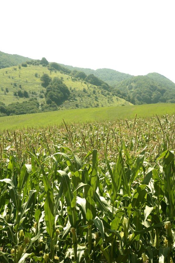 Groen de gebiedenlandschap van het graan in openlucht stock foto's
