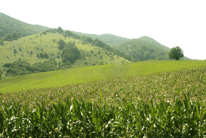 Groen de gebiedenlandschap van het graan in openlucht royalty-vrije stock foto's