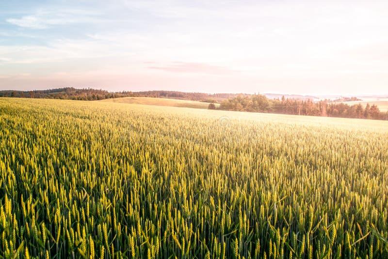Groen de lentegebied van korrel op zonnige dag met blauwe hemel en witte wolken Natuurlijk, landbouw en landelijk landschap royalty-vrije stock afbeelding