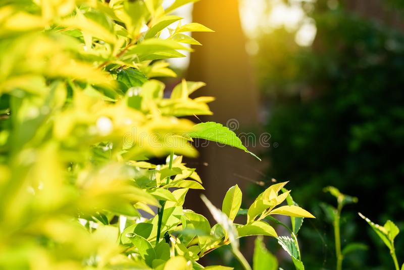 Groen de lenteverlof met bokeh achtergrond verse en groene bladeren selectieve nadruk en onscherpe achtergrond royalty-vrije stock foto's