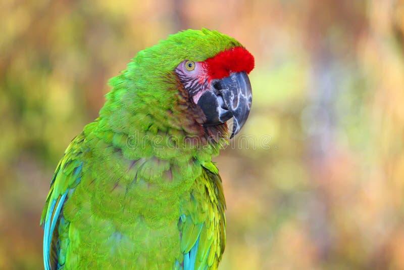 Groen de Papegaaiportret van Amazonië met vage achtergrond stock foto's
